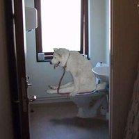 Toilet Fox
