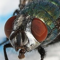 fetish fly