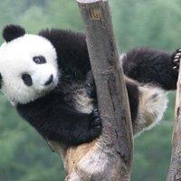 the perturbing panda