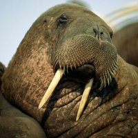 I want to become a walrus