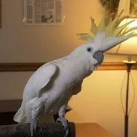 Snowball the Cockatoo