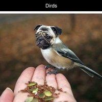 Dirds