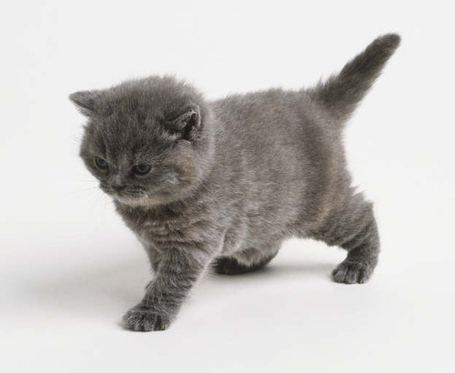 Gray Cat With White Feet