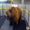 Office Grizzly