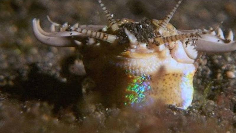 The Terrifying Bobbit Worm