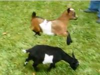Buttermilk the Hopping Goat