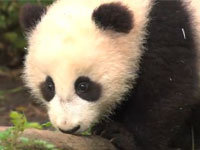 Cute Animals: Baby Panda Edition