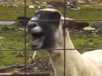 Goats Yelling Like Humans
