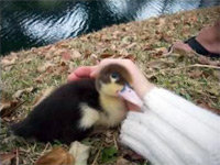 McIntosh the Pet Duck