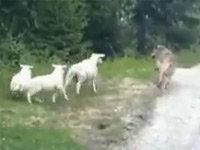 Wolf Goes to the Wrong Neighborhood