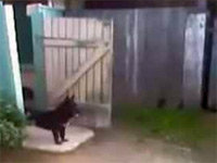 Dog Gets Mildly Annoyed By Fence Gate