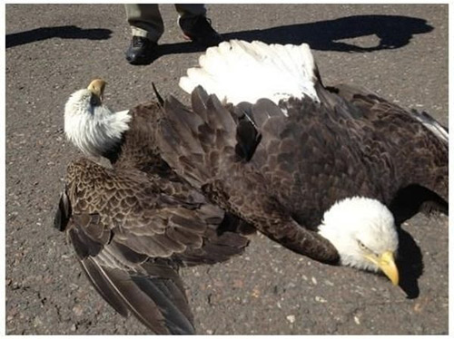 Bald Eagles in Air Battle Crash-land at an Airport