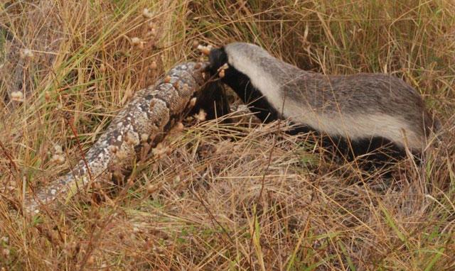 Honey badger vs lion testicles - photo#33