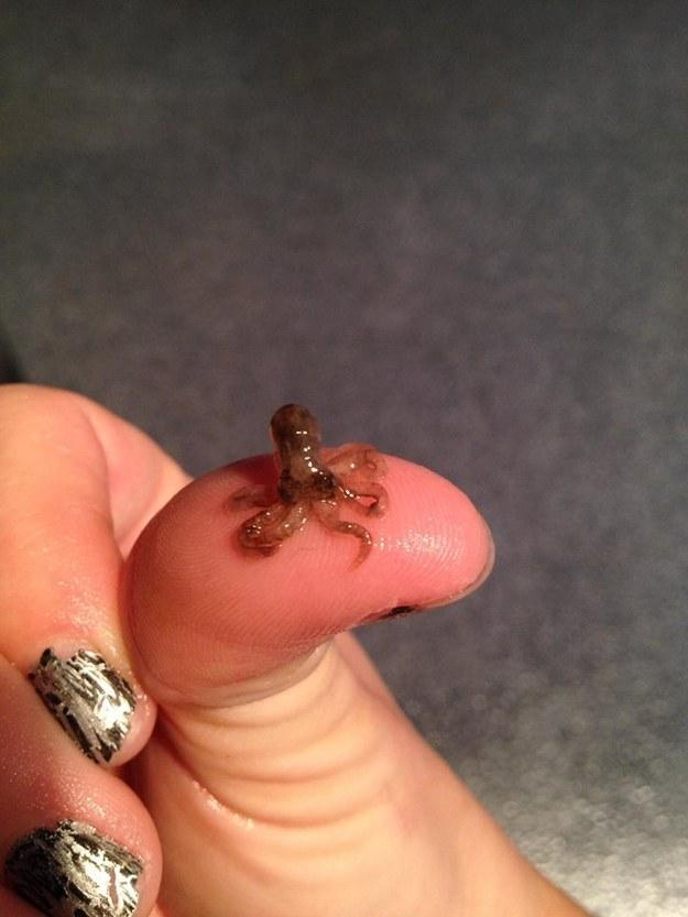 Baby Octopus On A Friend S Thumb Cephalopods Know
