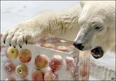 Apples Bear