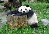 Pickup Line Panda