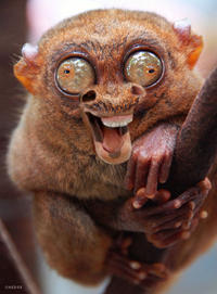 Tarsier_annoying