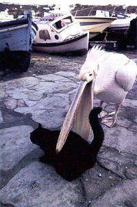 Pelican-eats-cat