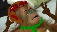 Dying Orangutan