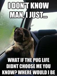 Introspective Pug