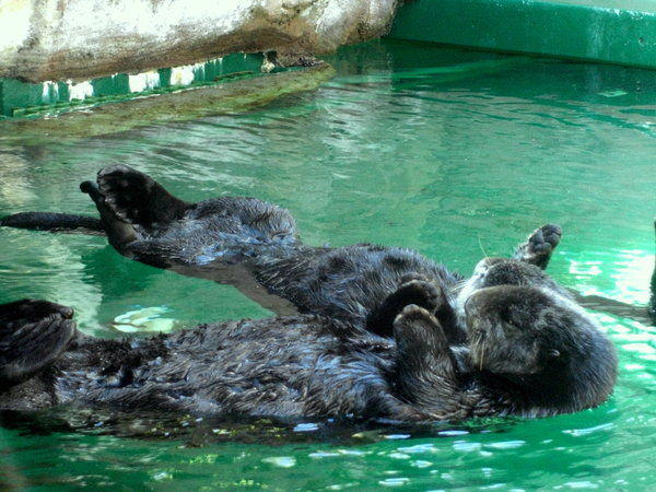 Otters_holding_hands_by_FledglingArt.jpg
