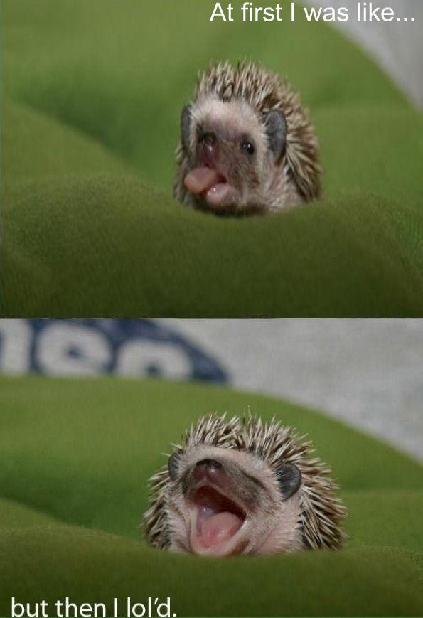 hedgehog_lold.jpg