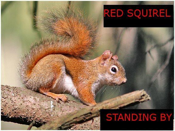 redsquirrel.jpg
