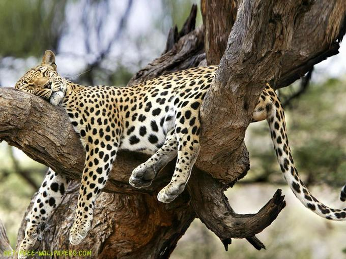 sleeping-leopard.jpg