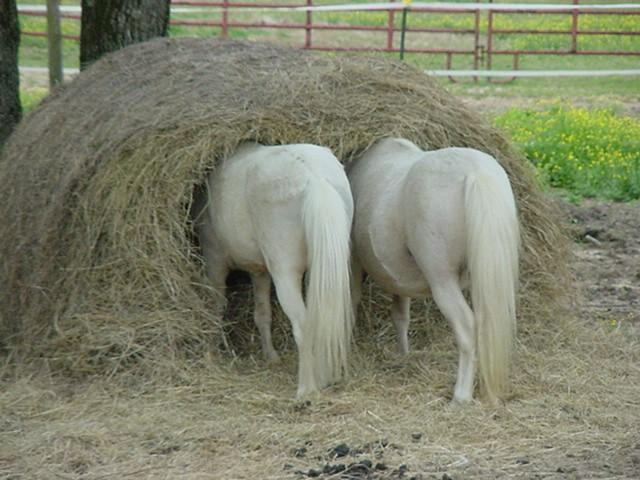 How-Ponies-Eat-a-Round-Bale.jpg