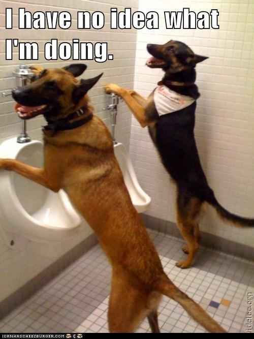 My Belgian Malinois, Lac3y. Clearly she shouldn't be trying to use the urinal. She's a girl. And a dog. No thumbs.