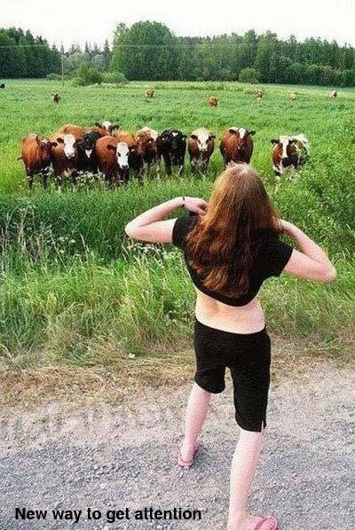 Getting The Cows Attention