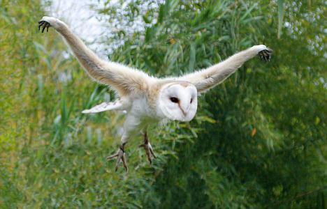 Gibbon Owl