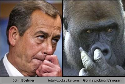 Gorilla picking it's nose