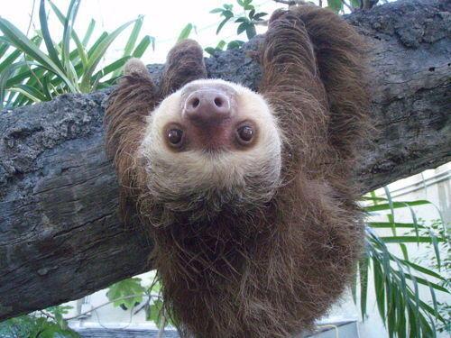Sloths | Know Your Mem...