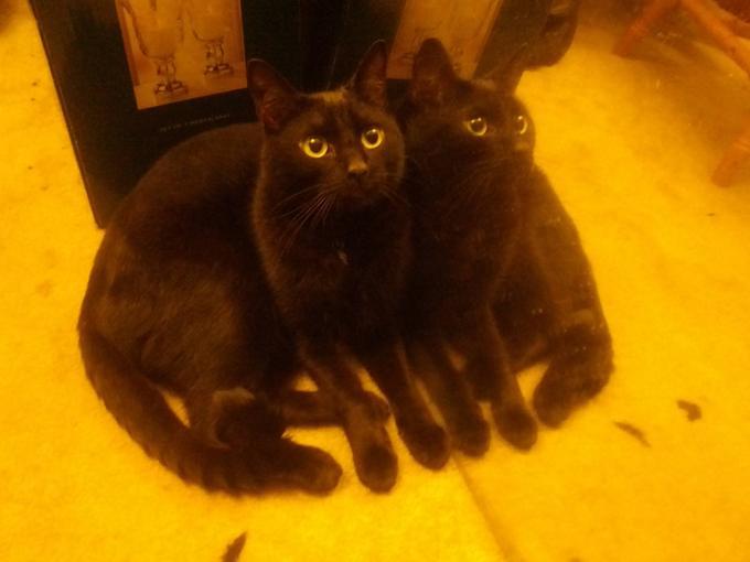 Twin black cats