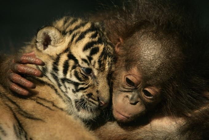 Sumatran Tiger cub and Baby Orangutan at the Taman Safari Zoo