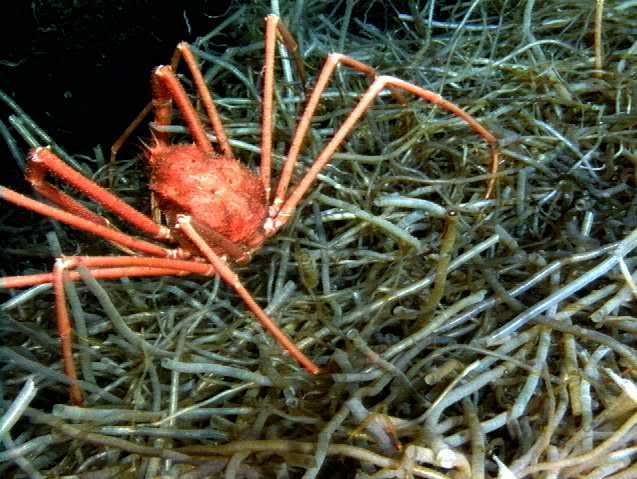 "scp 098 ""Surgeon Crabs"""