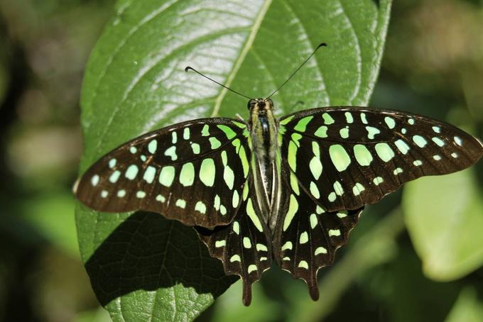 SCP-408 Illusory Butterflies
