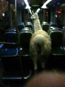 Llama on tram