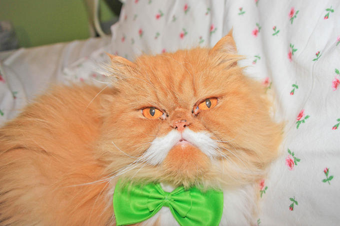 Oki the moustache cat wearing a bow