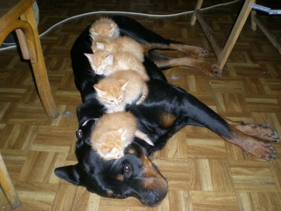 Kittens on a Dog