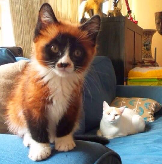 Cat That Looks Like A Fox Red Panda Kitten...