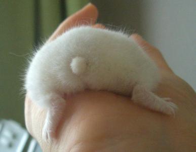 White Hamster Butt