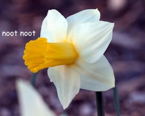 Flower Noot