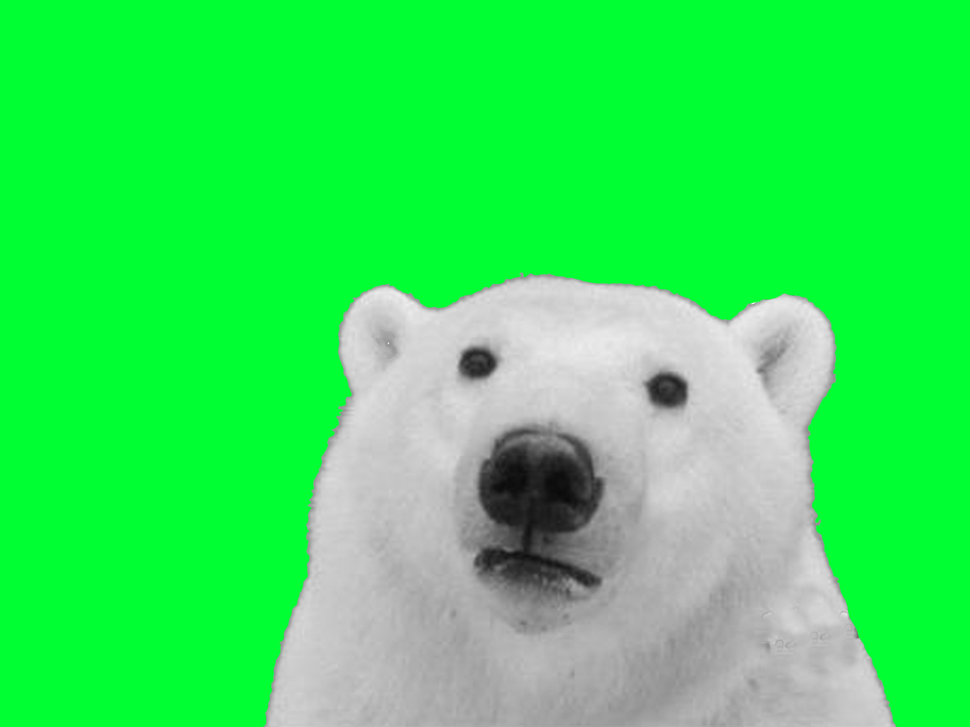 Green Screen Polar Bear   Know Your Meme